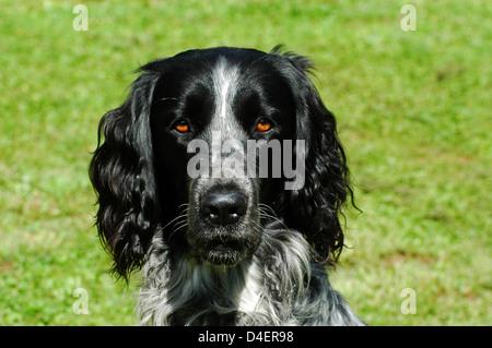 Grosser Muensterlaender (Canis lupus f. familiaris) Large Munsterlander • Ostalbkreis; Baden Wuerttemberg; Deutschland; - Stock Photo