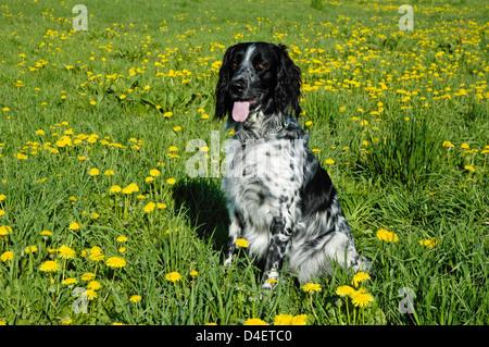 Grosser Muensterlaender (Canis lupus f. familiaris) • Ostalbkreis; Baden Wuerttemberg; Deutschland; Germany; - Stock Photo