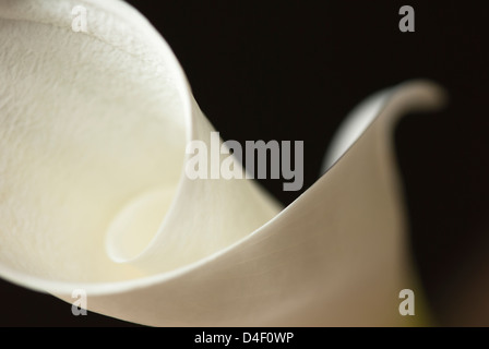 Close up of calla lily - Stock Photo