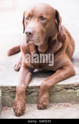 Brown labrador retriever lying down and looking at camera - Stock Photo