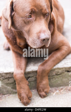 Brown labrador retriever lying down and looking - Stock Photo