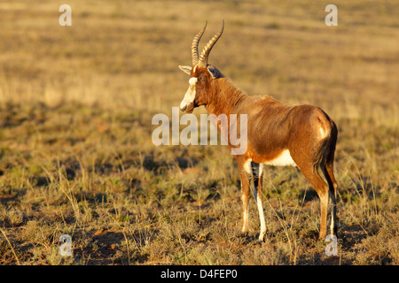 The blesbok or blesbuck (Damaliscus pygargus phillipsi) is an antelope endemic to South Africa. It has a distinctive - Stock Photo