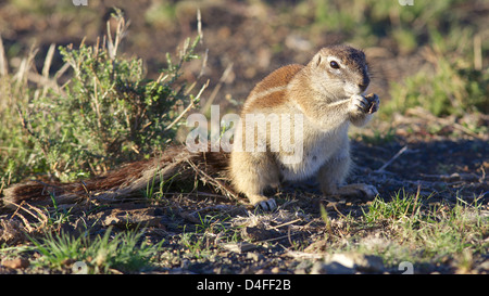 The Ground Squirrel (Xerus inauris) is found in most of the drier parts of southern Africa. - Stock Photo