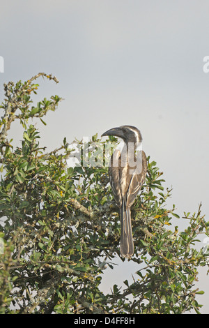 African Grey Hornbill (Tockus nasutus) in Lake Nakuru national park - Stock Photo