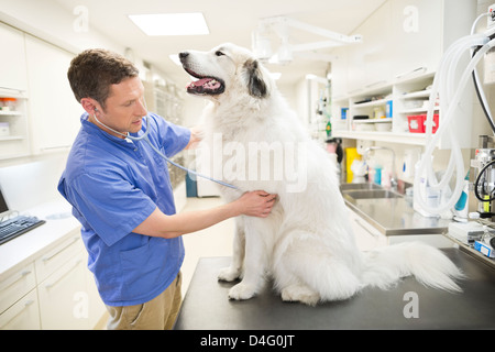 Veterinarian examining dog in vet's surgery - Stock Photo
