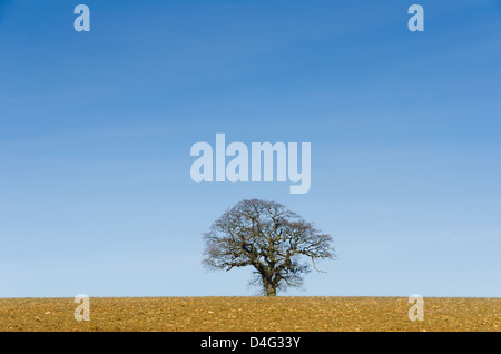 Lone tree in winter against a blue sky - Stock Photo