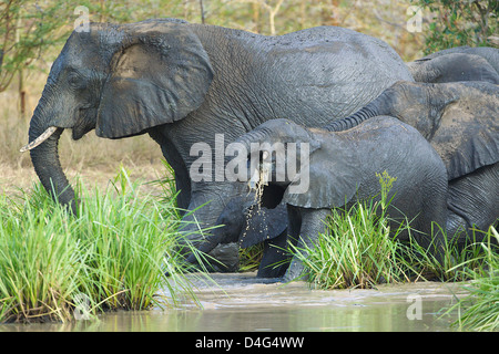 African elephants drinking Tanzanian Saadani National Park - Stock Photo