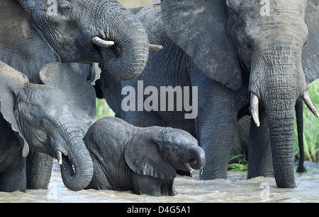 Family group of African elephants drinking. Tanzania - Stock Photo