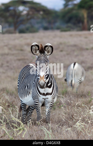 Grevy's zebra (Equus grevyi), Lewa conservancy, Laikipia, Kenya, September 2012 - Stock Photo