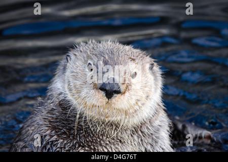 California sea otter, Enhydra lutris, Monterey, CA. USA. Stock Photo