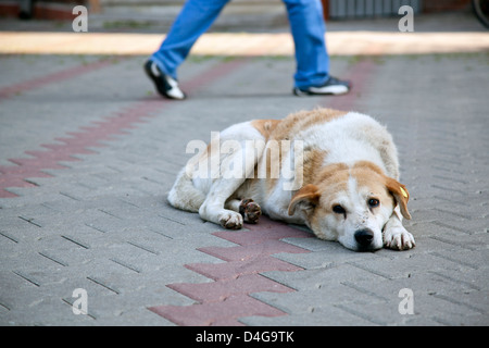 sad homeless stray dog with ear tag sitting on the street with human feet walking away in the background - Stock Photo