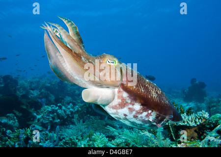 A broadclub cuttlefish, Sepia latimanus, Komodo, Indonesia. - Stock Photo