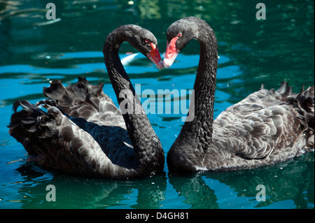 Two black swans (Cygnus atratus) touching bills and making heart shape with necks in Spring time - Stock Photo