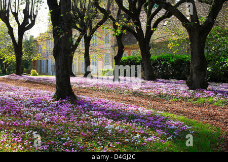 Cyclamen Hederifolium a Carpet of Flowers in a French Garden