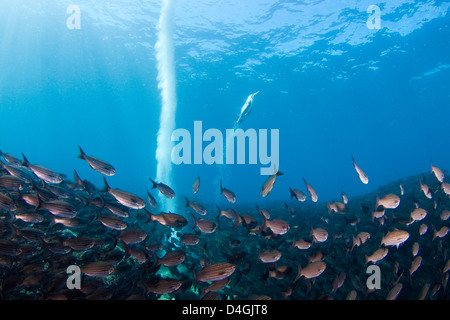 A blue footed booby, Sula nebouxii excisa, dives into a school of black striped salema, Xenocys jessiae, Galapagos, - Stock Photo