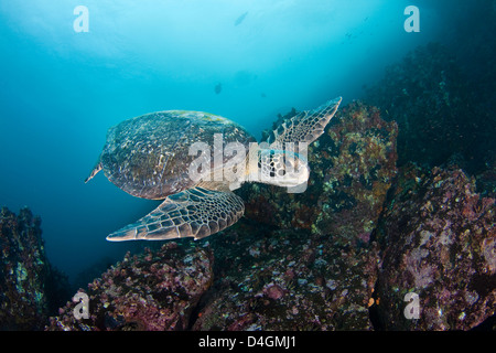 Green sea turtle, Chelonia mydas, an endangered species. Galapagos Islands, Equador. - Stock Photo