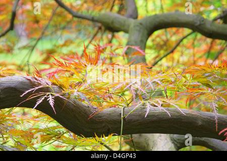 Acer palmatum 03 - Stock Photo