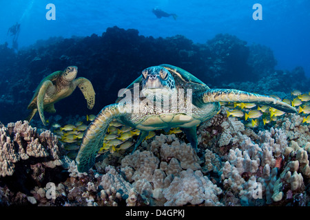Three images were combined for this shot of green sea turtles, Chelonia mydas, an endangered species. Hawaii. - Stock Photo