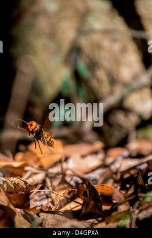 Japanese giant hornet in flight - Stock Photo