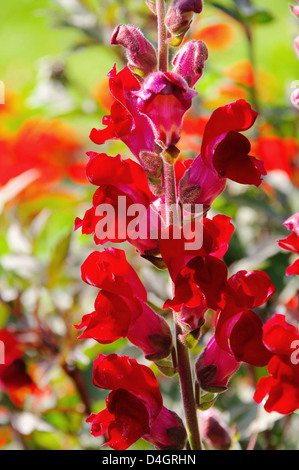 Loewenmaul rot - snapdragon red 01 - Stock Photo