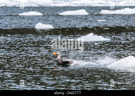 Adult female Magellanic flightless steamer-duck, Wildlife Conservation Society Preserve of Karukinka, Strait of - Stock Photo