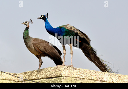 A peacock with peahen (female) or Indian peafowl (Pavo cristatus) at terrace in Mathura, India. - Stock Photo