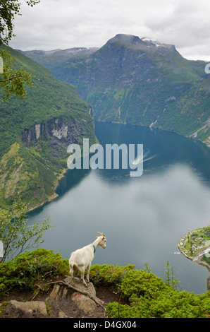 Goats overlooking Geirangerfjorden, near Geiranger, UNESCO World Heritage Site, More og Romsdal, Norway, Scandinavia - Stock Photo