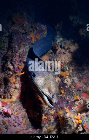 Giant Moray eel (Gymnothorax javanicus), Southern Thailand, Andaman Sea, Indian Ocean - Stock Photo