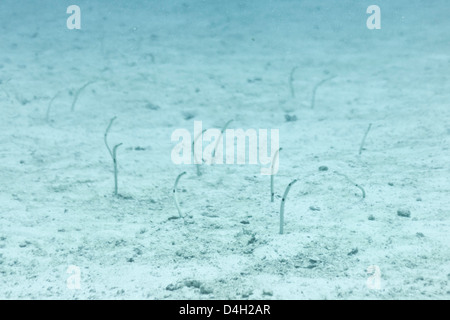Spotted Garden Eel (Heteroconger hassi), Southern Thailand, Andaman Sea, Indian Ocean - Stock Photo