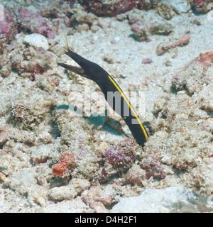 Blue Ribbon Eel (Rhinomuraena quaesita) juvenile, Southern Thailand, Andaman Sea, Indian Ocean - Stock Photo