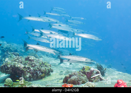 Pickhandle Barracuda, Southern Thailand, Andaman Sea, Indian Ocean - Stock Photo