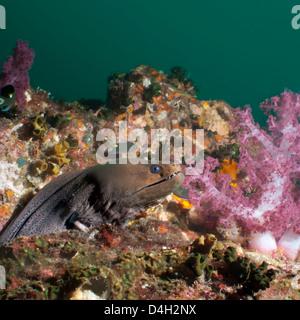 Giant moray eel (Gymnothorax javanicus), SouthernThailand, Andaman Sea, Indian Ocean, Southeast Asia - Stock Photo