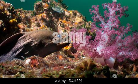 Giant moray eel (Gymnothorax javanicus), Southern Thailand, Andaman Sea, Indian Ocean, Southeast Asia - Stock Photo