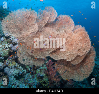 Close-up of giant sea fan coral, Ras Mohammed National Park, off Sharm el Sheikh, Sinai, Red Sea, Egypt, North Africa - Stock Photo