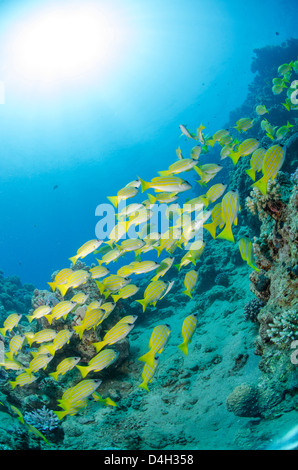 Medium shoal or school of blue striped snapper close to coral reef, Naama Bay, Sinai, Egypt, Red Sea, Egypt, North - Stock Photo