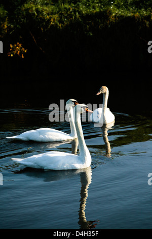 A family of mute swans (Cygnus olor) on the River Mark, Breda, North Brabant, The Netherlands (Holland) - Stock Photo