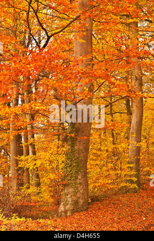 Autumn colours in the beech trees near to Turkdean in the Cotwolds, Gloucestershire, England, UK - Stock Photo