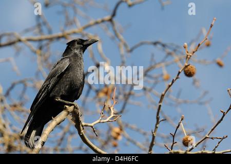 Carrion crow (Corvus corone) perched on branch of London plane tree (Platanus x hispanica), Regents Park, London, - Stock Photo