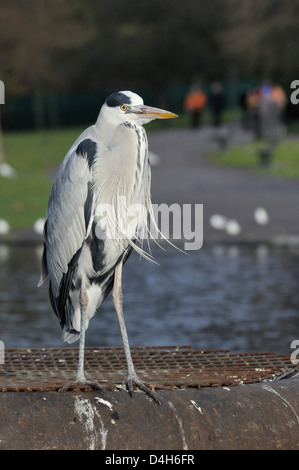 Grey heron standing on metal platform in boating lake with people in the background, Regent's Park, London, England, - Stock Photo