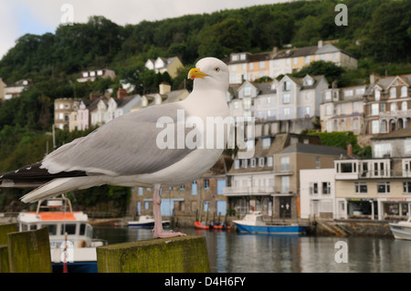 Adult herring gull standing on wooden post by Looe harbour with houses in the background, Looe, Cornwall, England, - Stock Photo