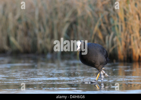 Coot (Fulica atra) walking on frozen lake in late afternoon sunshine, Wiltshire, England, UK - Stock Photo