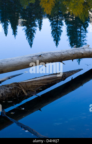 Fallen tree trucks and reflections in Merced River, Yosemite Valley, Yosemite National Park, California, early morning, - Stock Photo