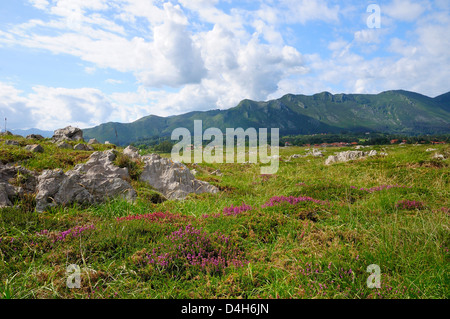 Mediterranean heather flowering with Picos de Europa mountains in the background, Ribadesella, Asturias, Spain - Stock Photo