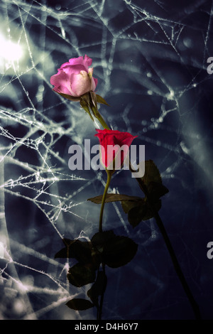 two withered roses with coweb - Stock Photo