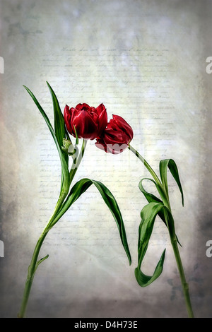 two red tulips on an old letter - Stock Photo