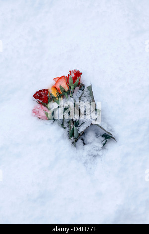 a bouquet of snow-covered roses - Stock Photo