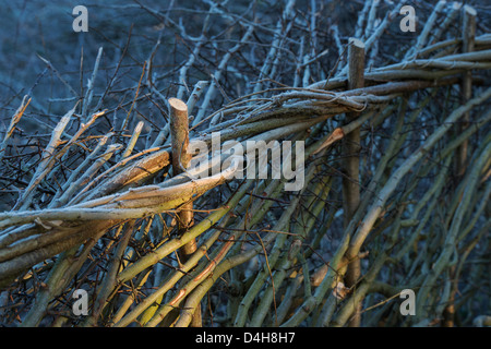 Traditional laid hedgerow on a frosty winter morning in the English countryside - Stock Photo