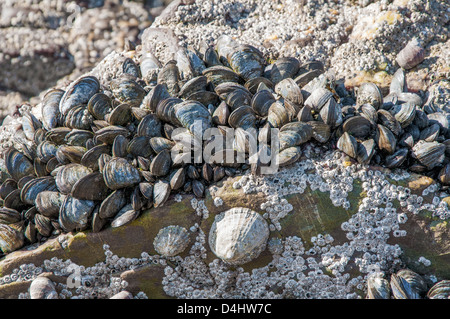 Barnacles, mussels and limpets on rocks in the intertidal zone - Stock Photo