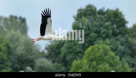 A Stork in flight - Stock Photo