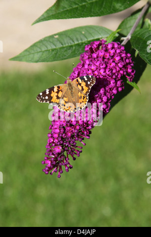 Painted Lady Butterfly sitting on a Buddleia - Stock Photo